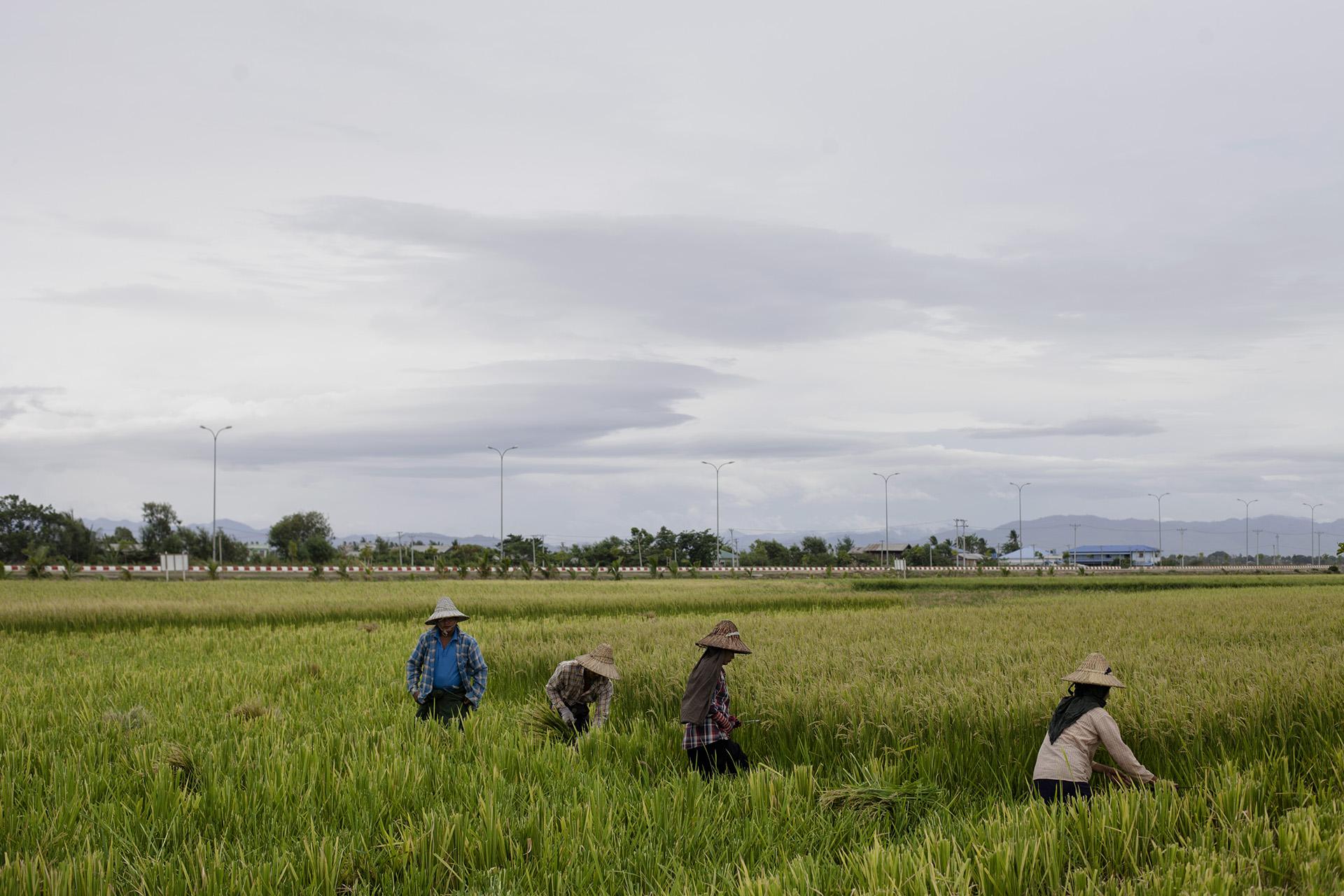 Dans certaines zones de la ville, les rizières occupent encore la majorité de l'espace, les populations déplacées ont souvent étés relogées dans ces zones. Naypyidaw, Birmanie. Mai 2015.