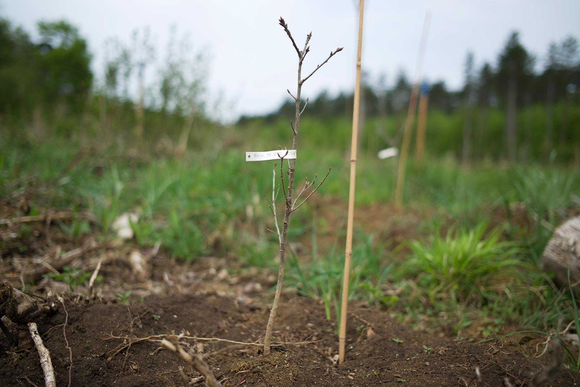 Parcelle de la forêt Domaniale de Verdun plantée d'arbres menacés par le changement climatique. Douamont, Meuse, Alsace-Champagne-Ardenne-Lorraine, 09.05.2016