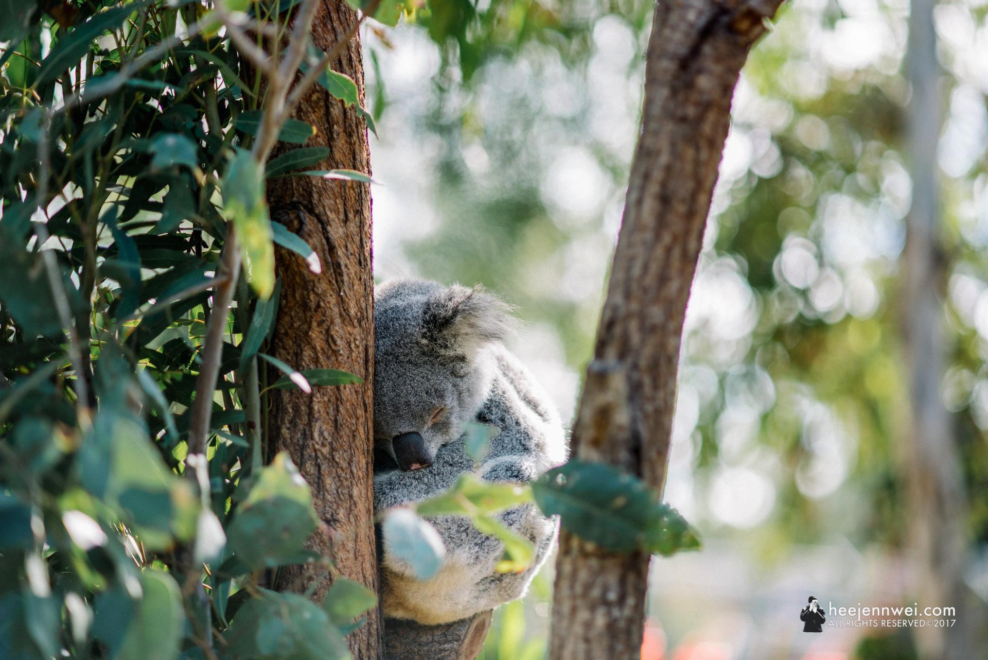 Adorable Koala bear!