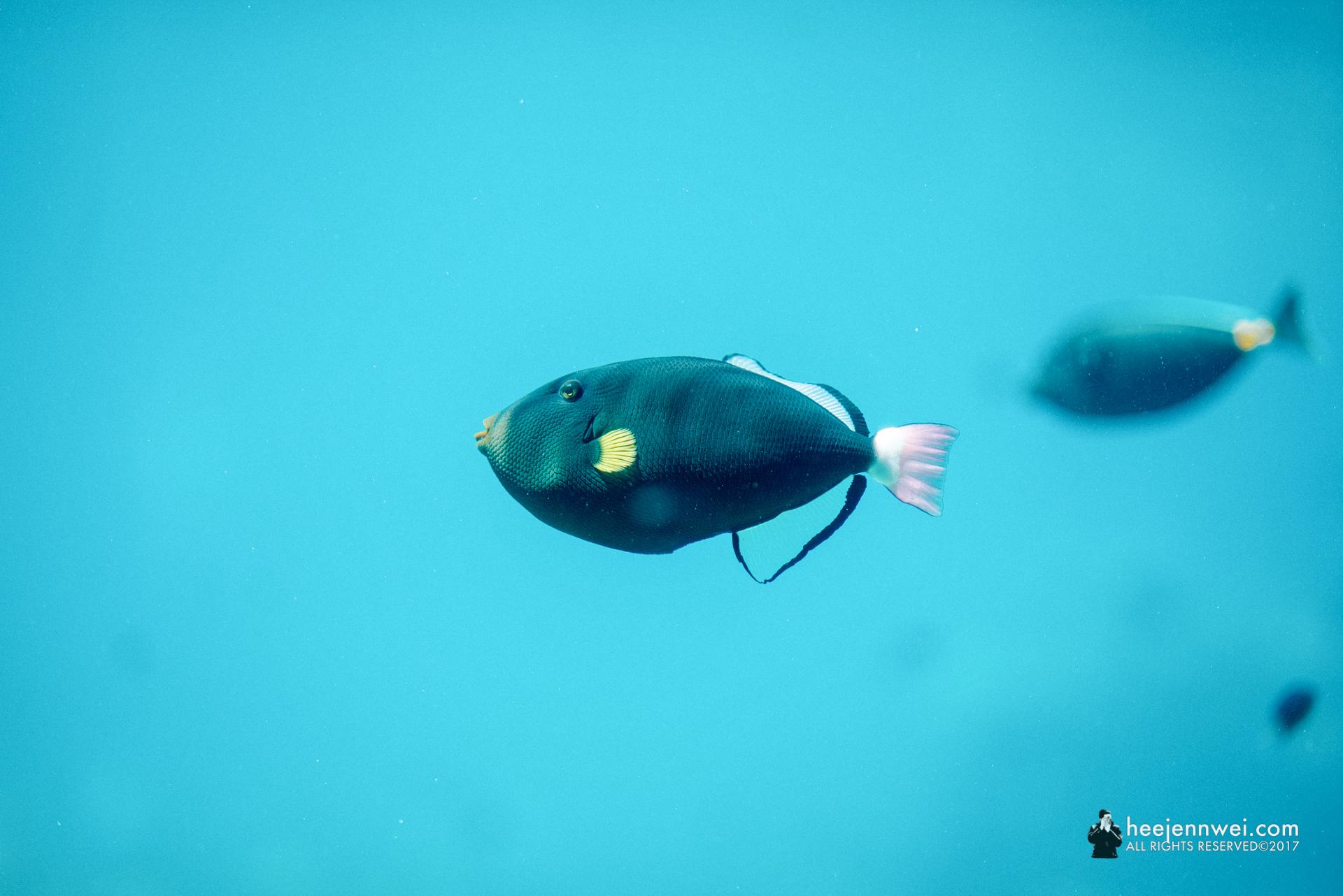 What-chu-ma-gonna-call fish at the Reef HQ Aquarium.