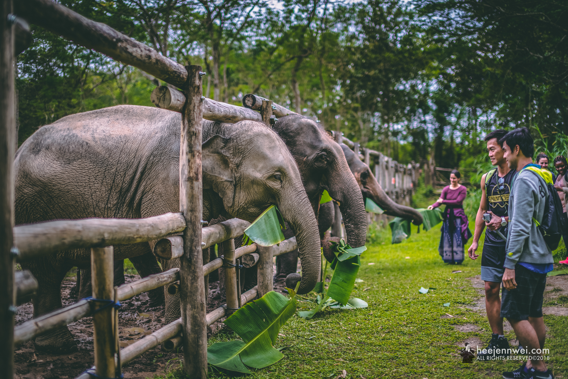 Feeding the elephants roots, tubers, plantains and banana leaves.