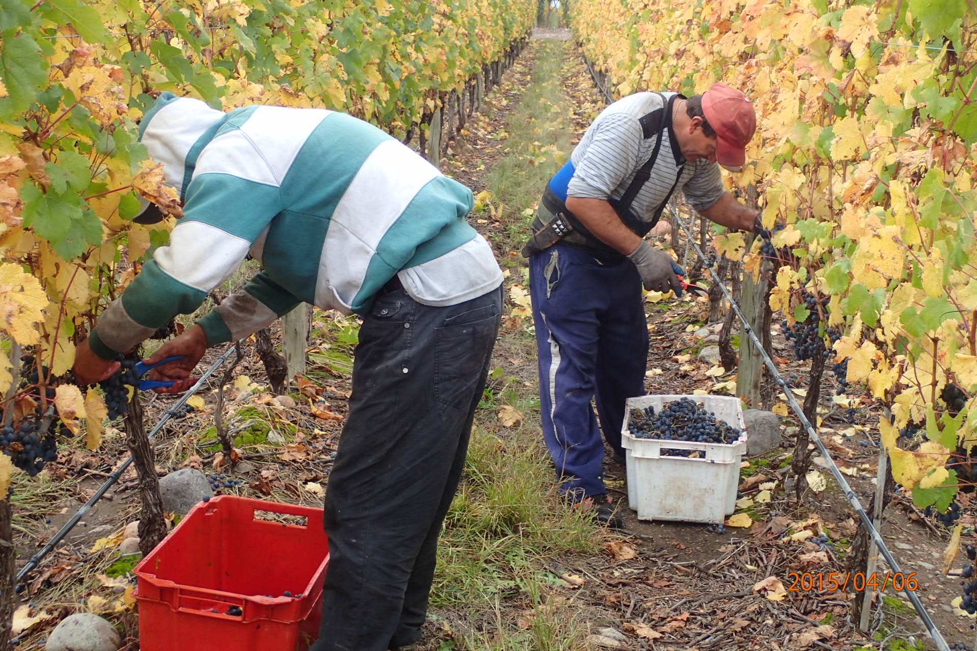 One of trained vineyard team workers carrying grapes during the morning harvest. Vina Andrico vineyard in Mendoza, Argentina.