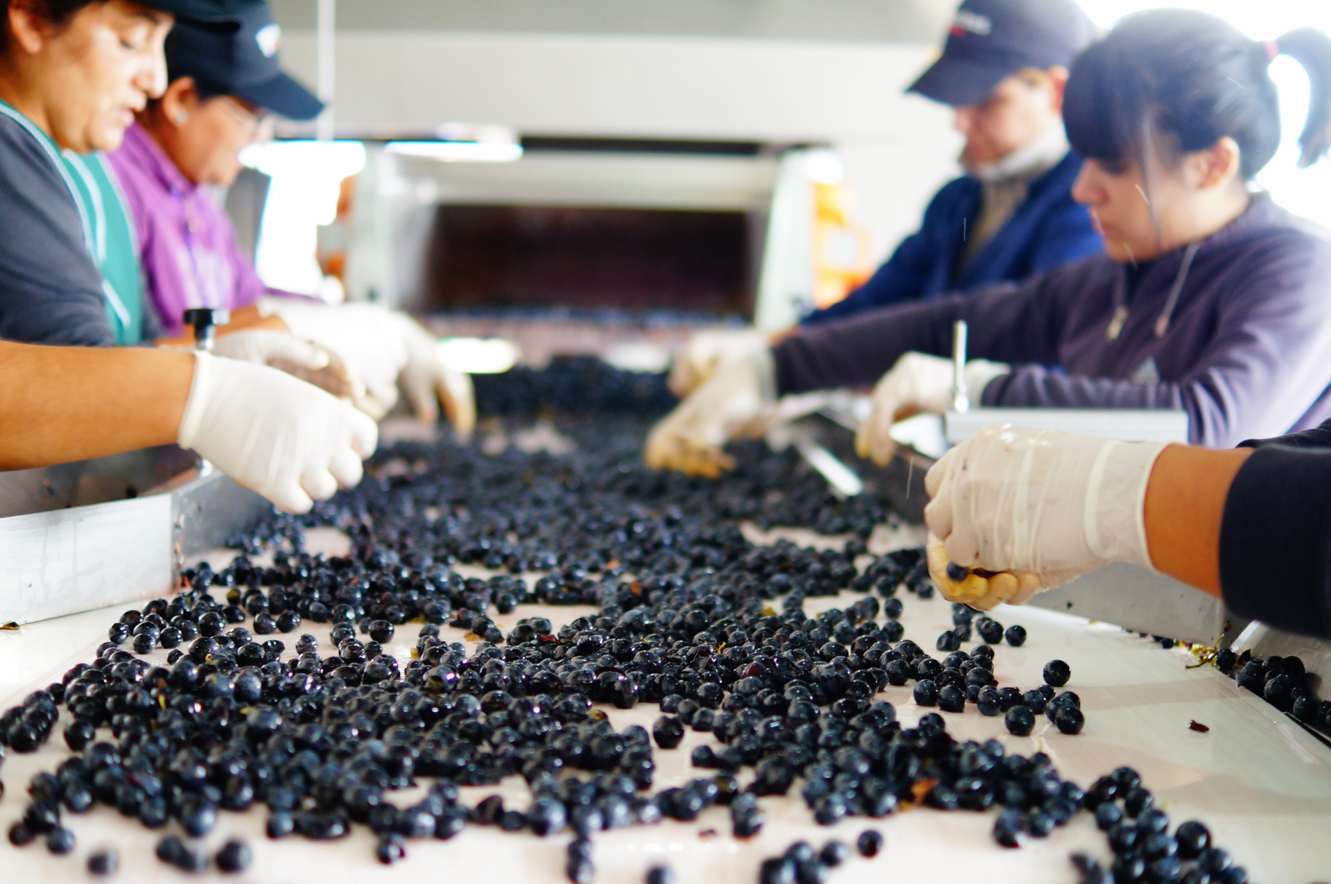Grapes are hand sorted by our winery experts to ensure only the highest quality grapes are used in our wines. Vina Andrico vineyard in Mendoza, Argentina. asdf
