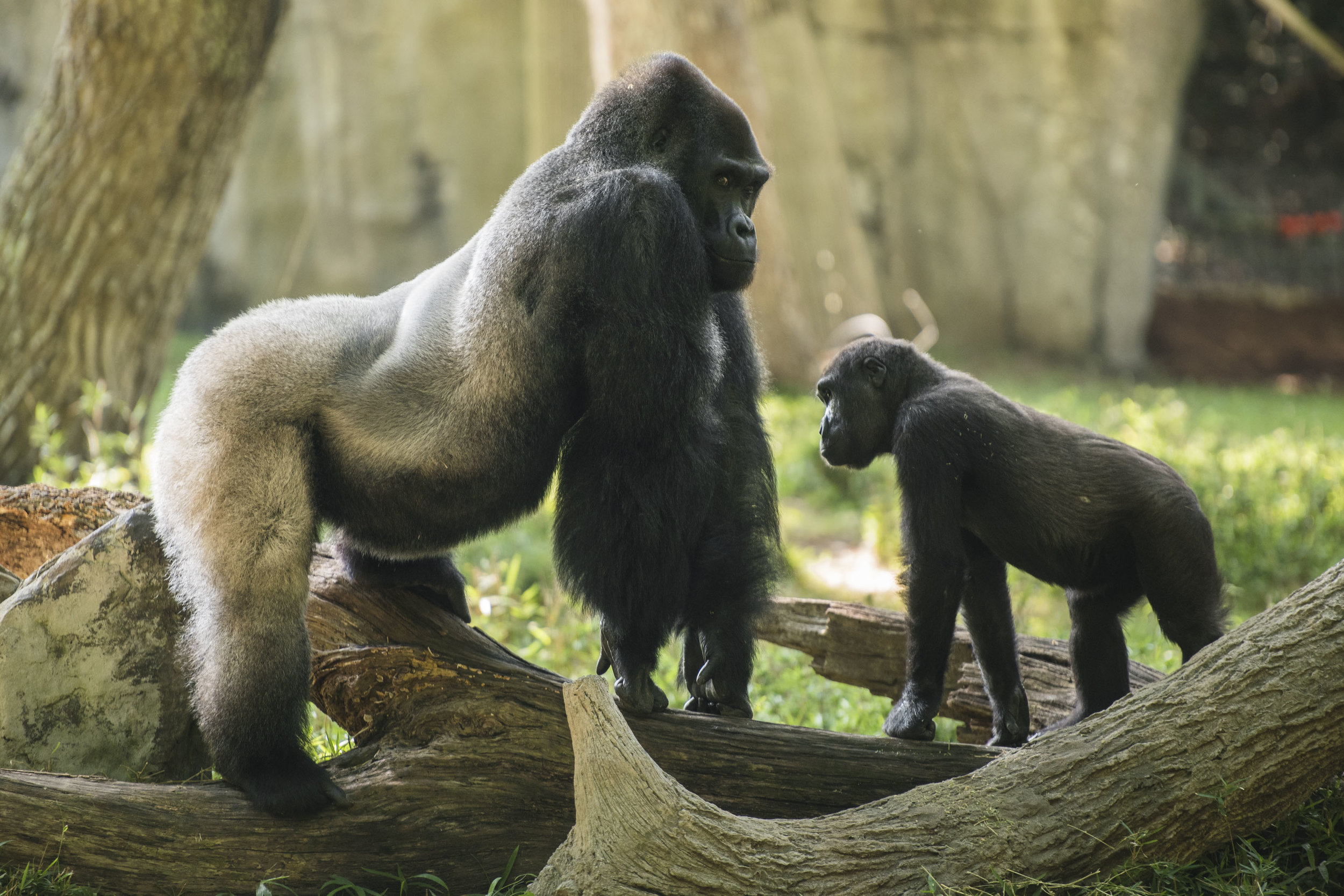Gorillas copy.jpg