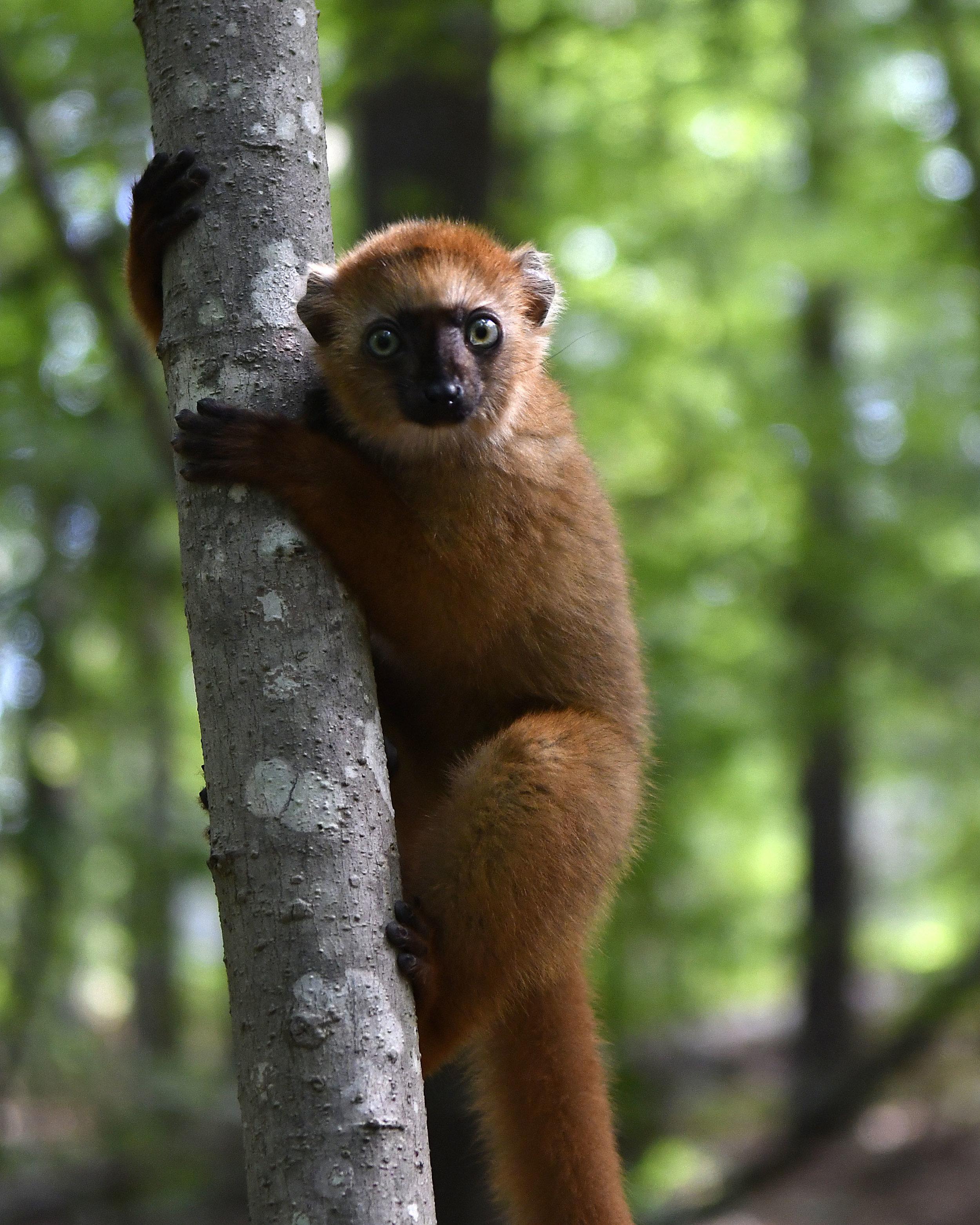 Blue-eyed black lemur female infant in tree - David Haring copy.jpg