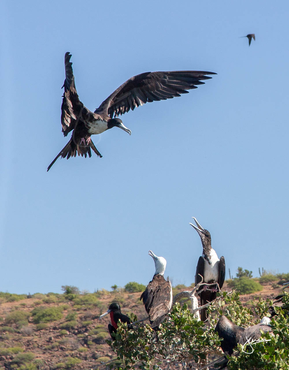 Frigate Bird Colony