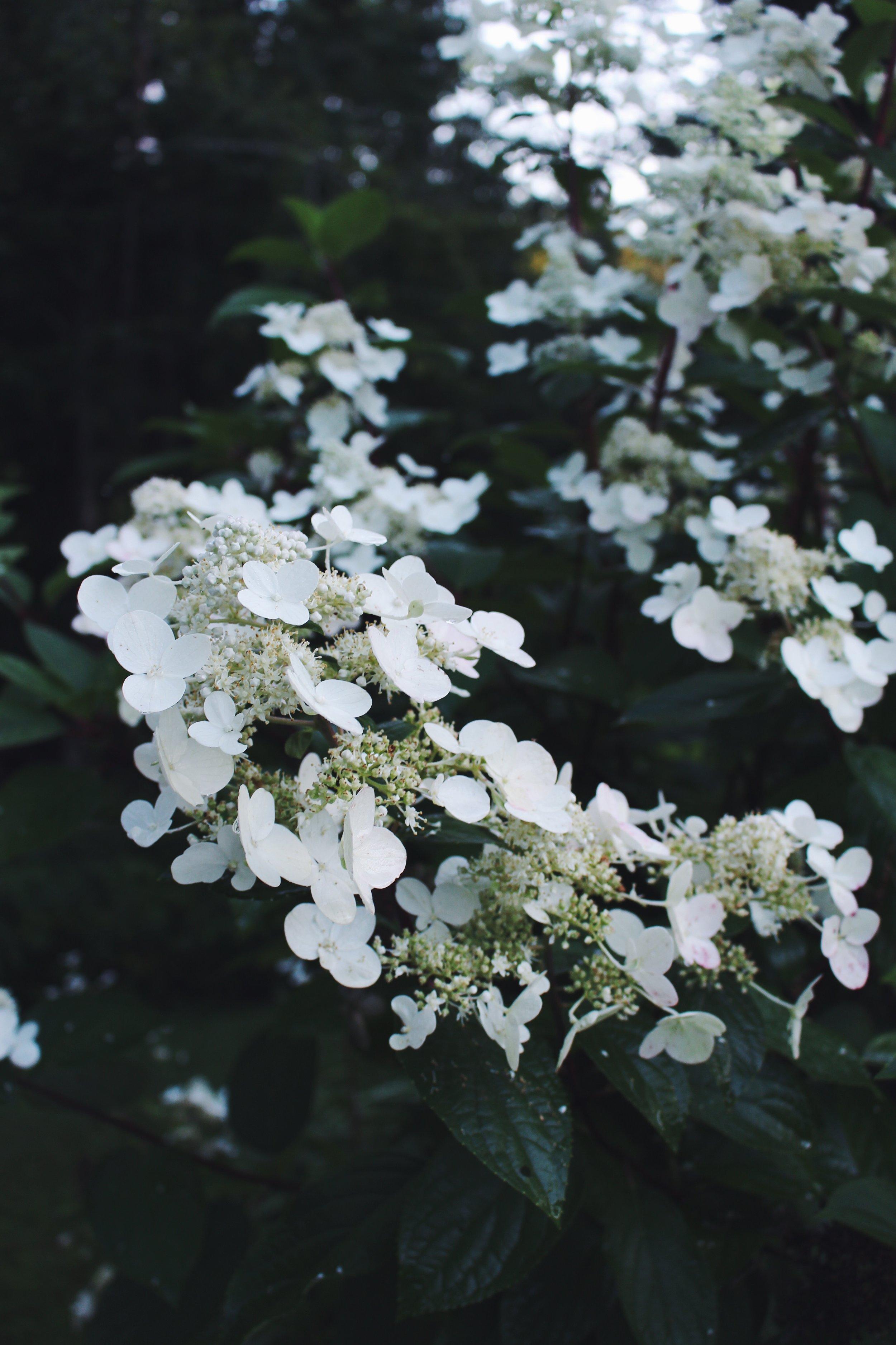 whte flowers hendrickson yard.jpg