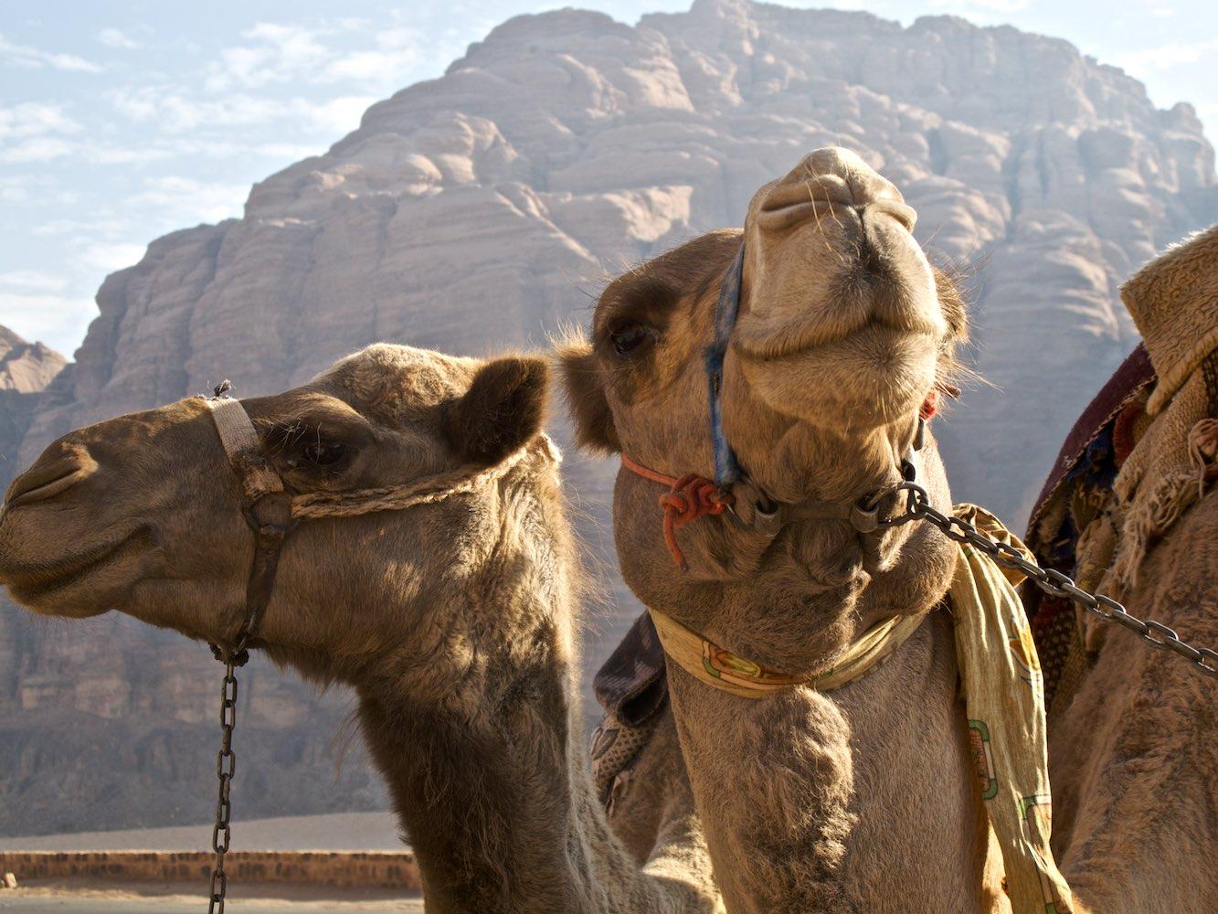 The dignified inhabitants of the Wadi Rum.jpg