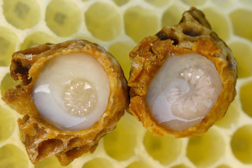 """Larvas de abeja reina dentro de las celdas reales o """"cacahuates"""". El líquido blanco es jalea real."""