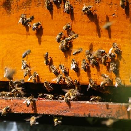Las abejas sólo pican si se sienten amenazadas.