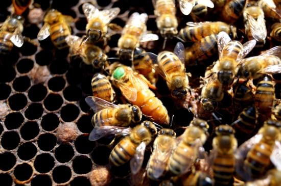 La jalea real es el alimento de la abeja reina (la del puntito verde)