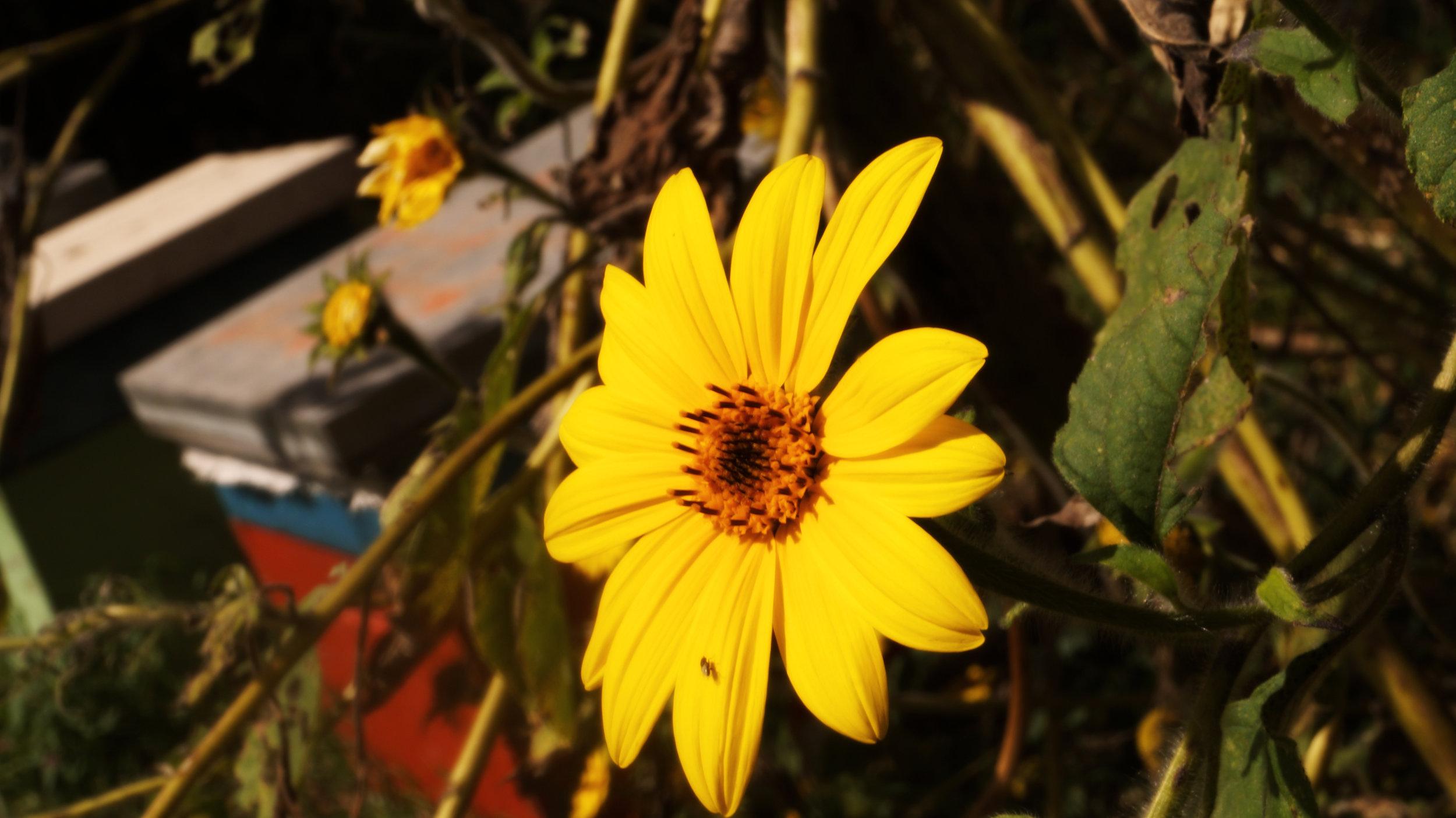 colmenay flor.jpg