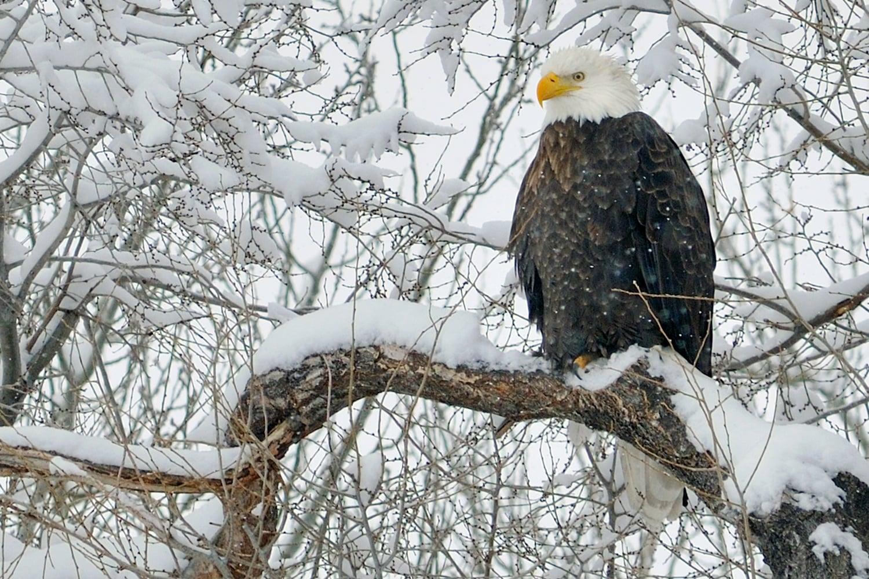 eagle on snowy branch.jpg