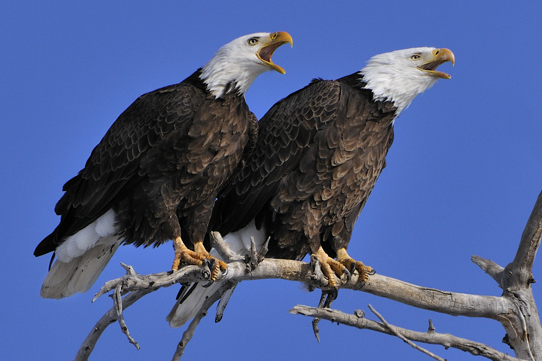 bald eagle pair on branch calling.jpg