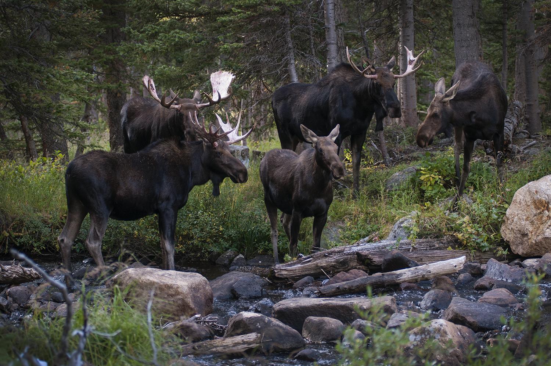 five moose at river crossing.jpg