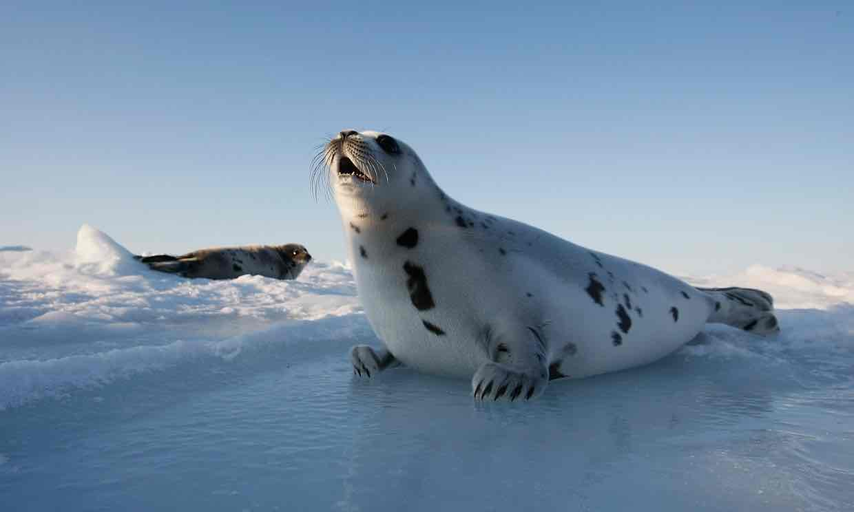 seal hunting native american news lutheran indian ministries