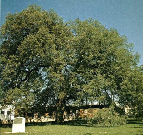 Texas A&M Forest Service - Texas A&M University Treaty Oak-1969 lutheran indian ministries native news