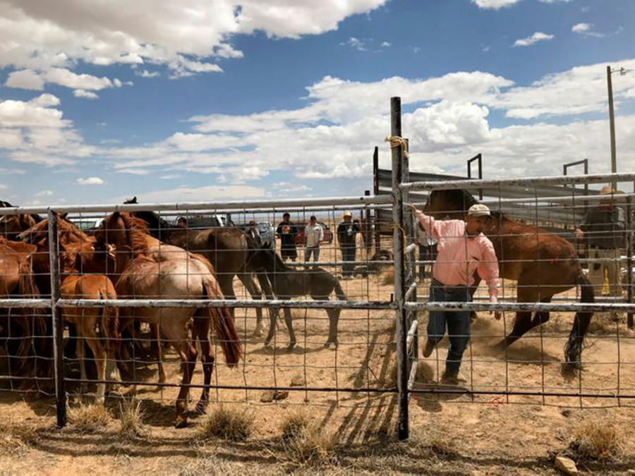 Larry Tsosie, right, a district grazing chairman with the Navajo Nation Department of Agriculture, quickly shuts a gate as he helps process surrendered horses Friday at the auction yard in Naschitti. (The Farmington Daily Times)