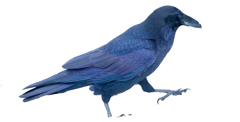 lutheran indian ministries native news - raven in snow, raven as alaskan symbol