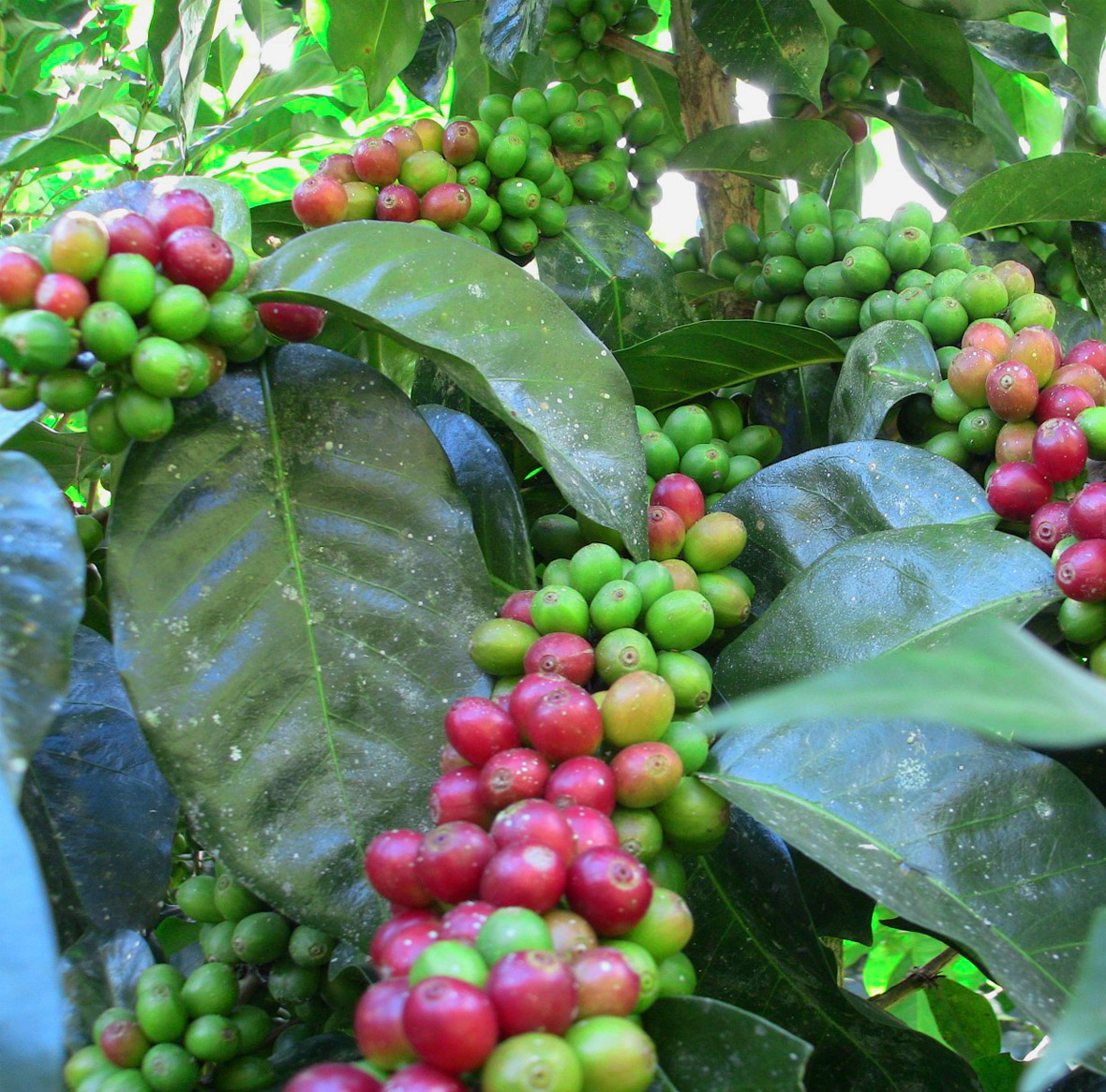 Organic Specialty Coffee - We farm, produce, and export specialty coffee to the United States