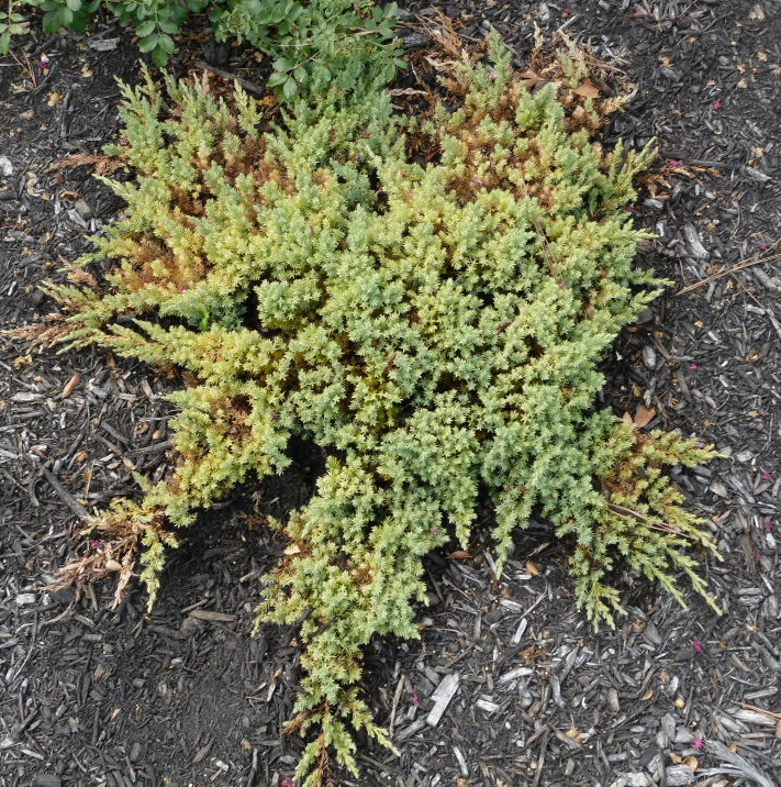 Juniper affected by spidermites