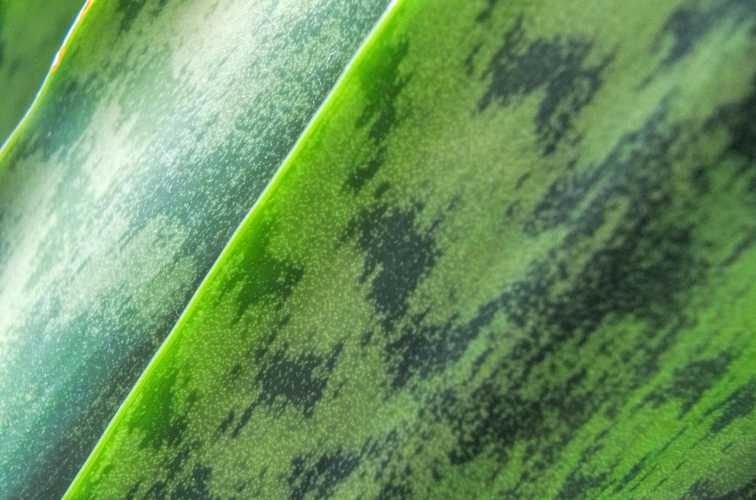 snake-plant1.jpg