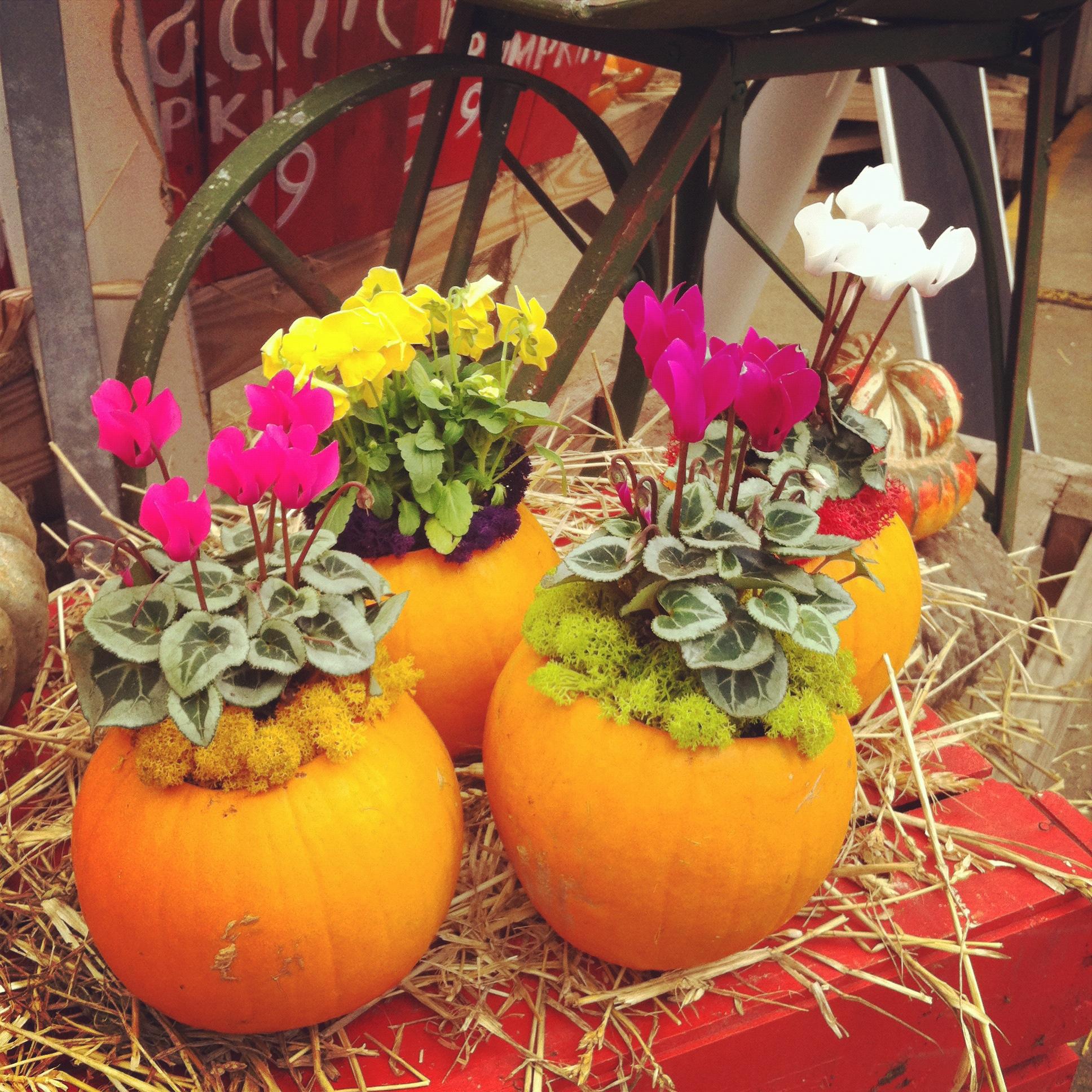 pumpkinsplanted.jpg