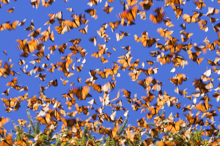 Monarchs in Motion by Tarnya Hall/CC BY