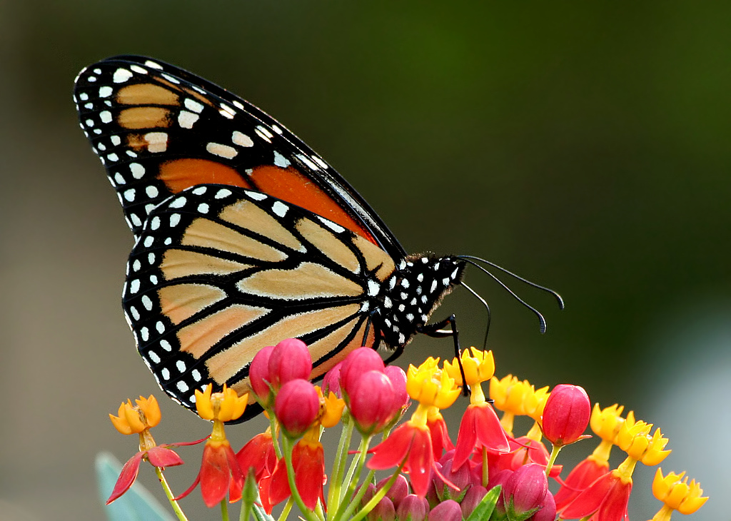 Monarch on Milkweed by TexasEagle/CC BY