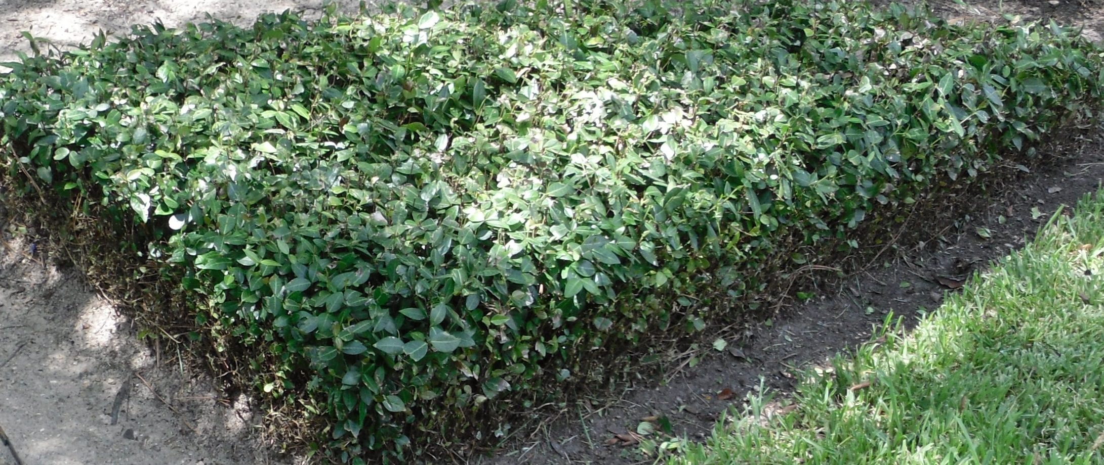 ASIAN JASMINE - A popular evergreen that makes a tough groundcover in  full sun or shade  with growth heights of 6-12 inches.  Asian jasmine is hard to beat because it's a hardy, strong spreader that provides a dense cover.