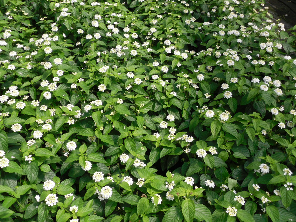 Trailing Lantana white
