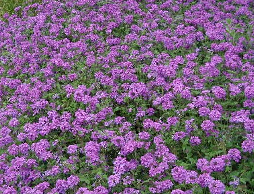 """VERBENA - This """"Purple Spreader"""" is Texas-tuff. It's an excellent spreading groundcover that is colorful,  sun-loving , and  drought-tolerant .It will reward gardeners with countless clusters of small blooms all season. Note:Verbena is susceptible to white fly."""
