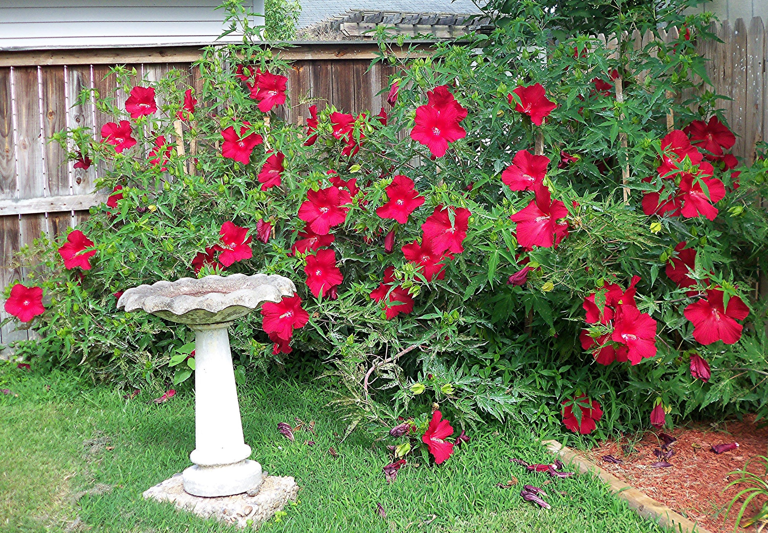 Hibiscus moscheutos 'Lord Baltimore' by Va.Rose/CC BY