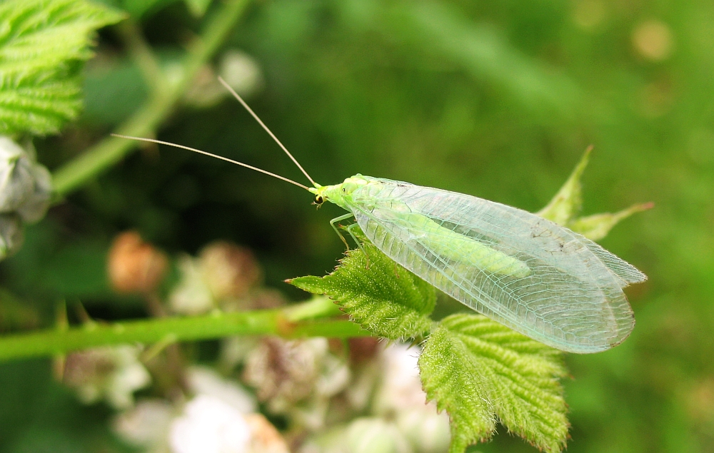 Green Lacewing   by nutmeg66CC BY