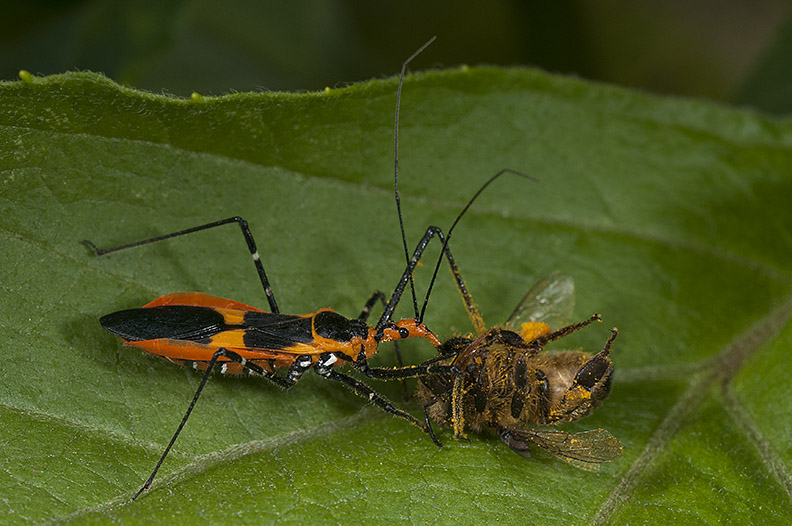 "A common type of Assassin bug found in our Southeast Texas region. ""Milkweed Assassin Bug"" by Carlos De Soto Molinari/CC BY"