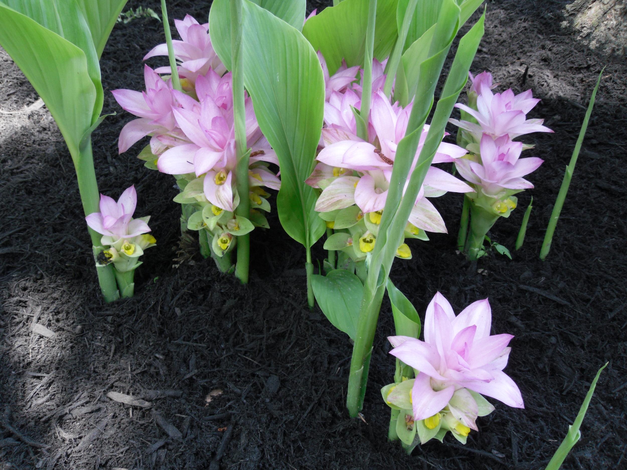 Spring blooming Hidden Ginger