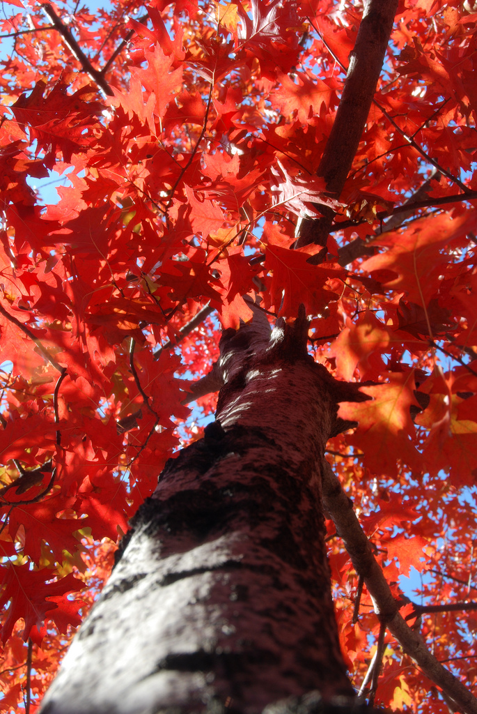 Tree Afire by Kevin Harbor/CC BY ( Shumard Red Oak)