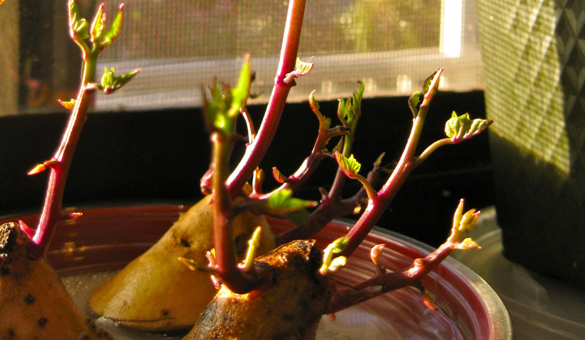 Sweet Potato Sprouts by Rosa Say/CC BY
