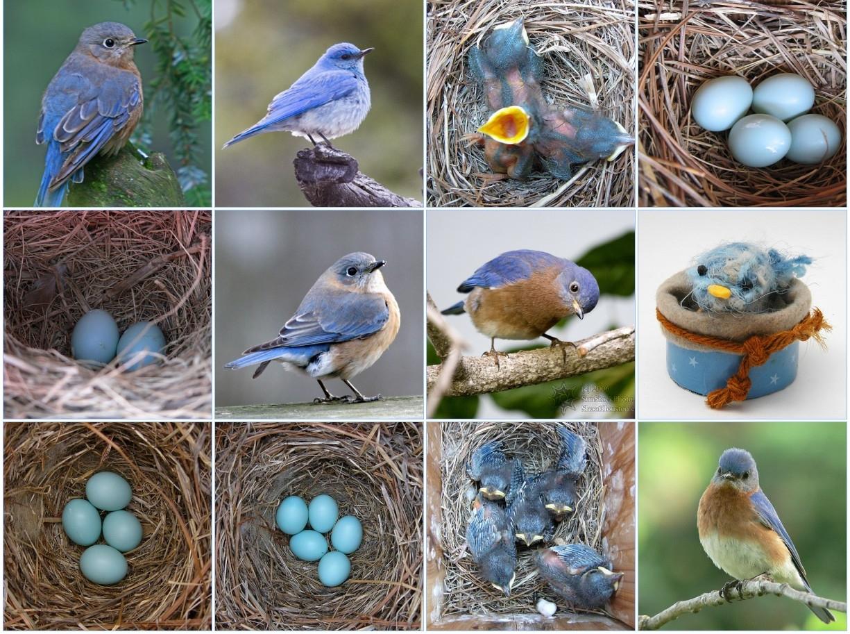 Bluebirds actually lay blue eggs!