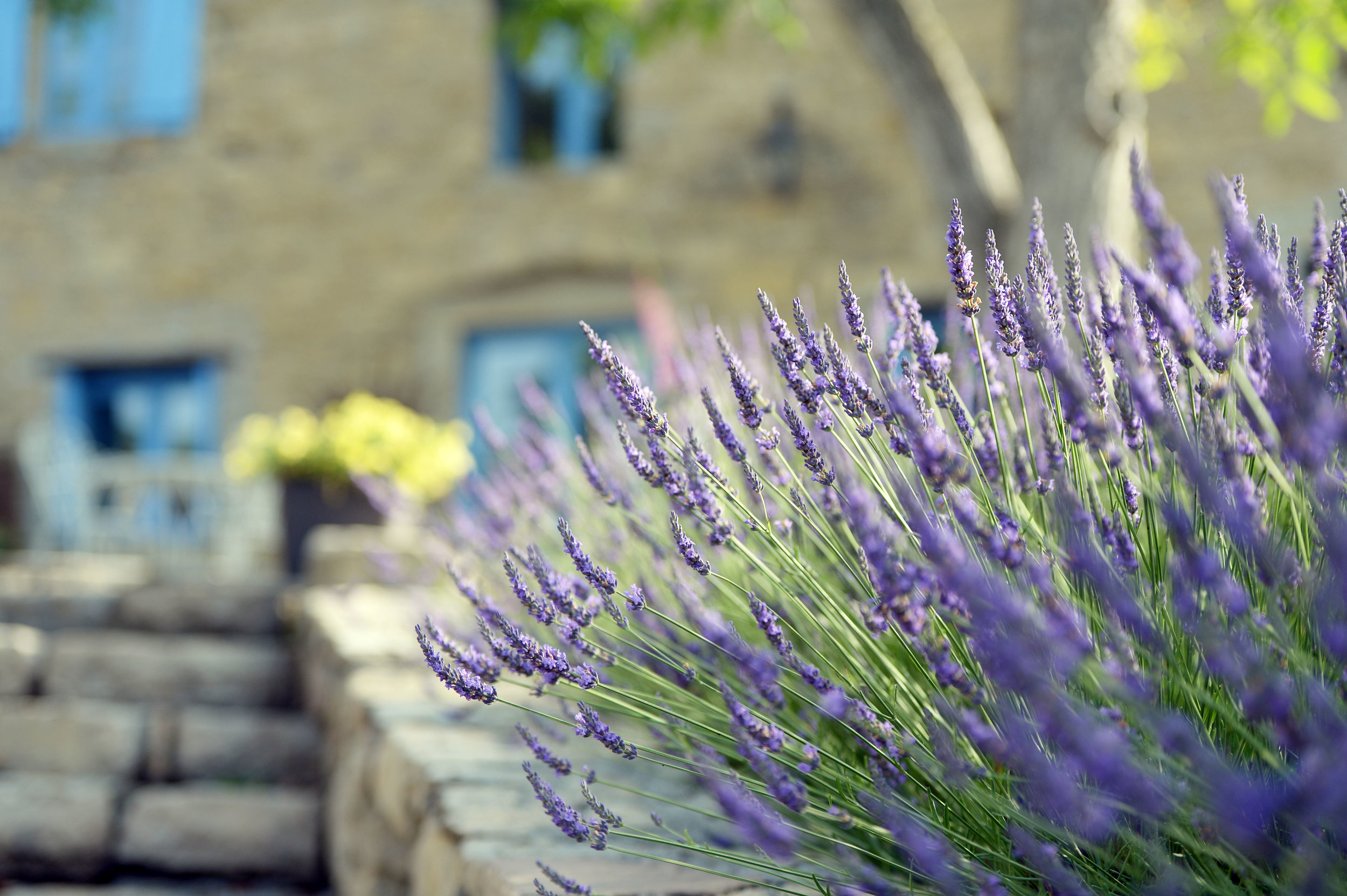 Lavenders & the house.JPG