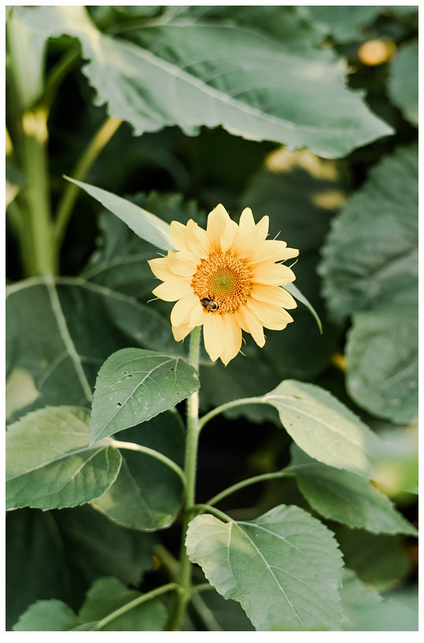 pretty yellow sunflower with a bumble bee inside of it