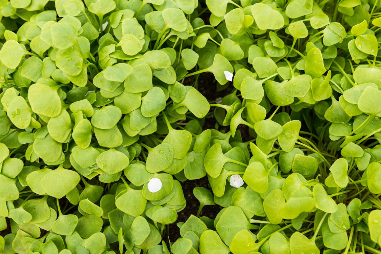 Winter Purslane (miners lettuce or claytonia)