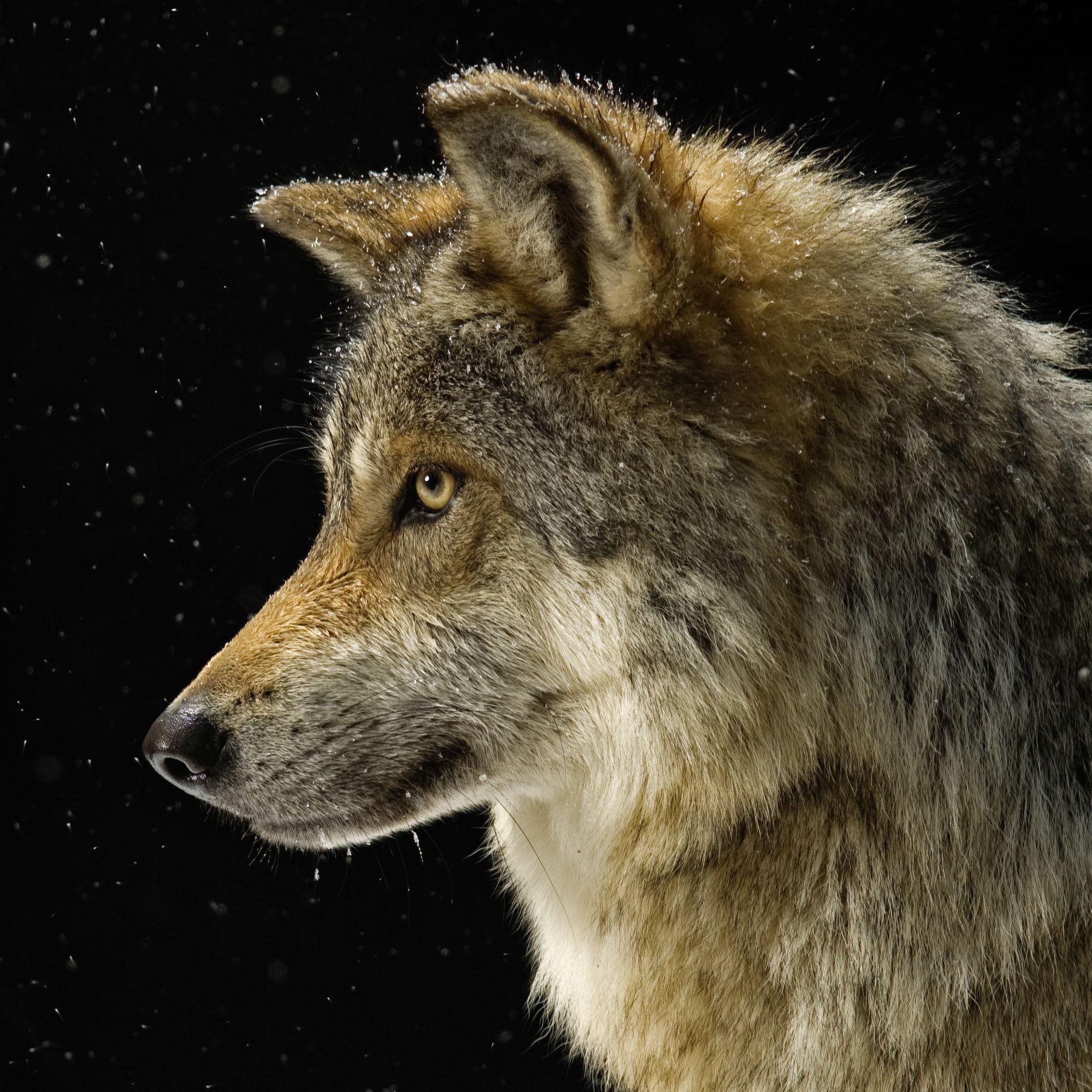 gray-wolf_thumb.JPG