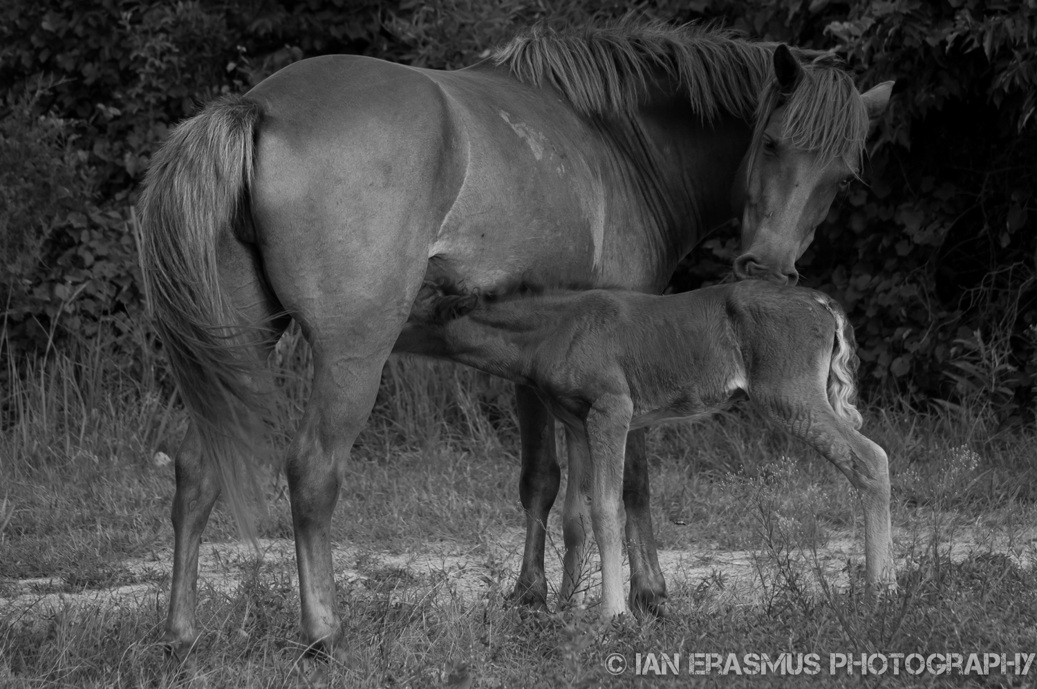 A newborn foal, barely 24 hours old.