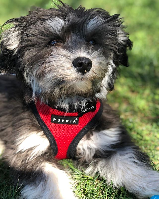 Alright y'all. Hutson is 5 months old and he's been bugging Sean and I about getting his own Instagram for awhile... we finally let him have one 🤷🏼‍♀️🙈 give @mr.hutsonhavanese a follow and make his day! Also, I think he should be a @puppiaus model, just saying 😏🐶
