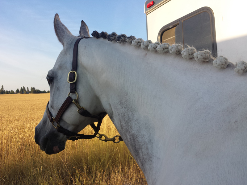 White horse with braids
