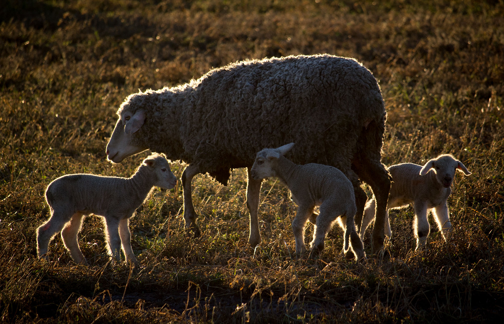 Ewe and lambs at sunset, Staten Island, California
