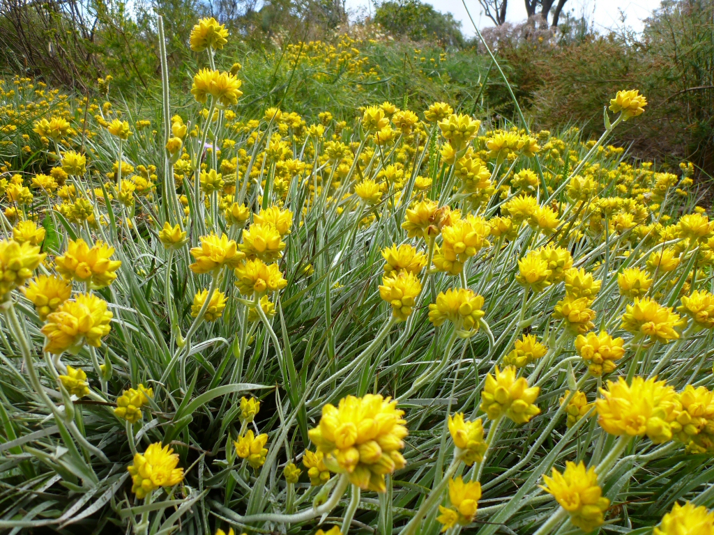 Photo credit: http://www.gardeningwithangus.com.au/conostylis-candicans-grey-cottonheads/