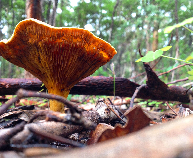 Austropaxillus infundibuliformis Boranup Forest - Margaret River