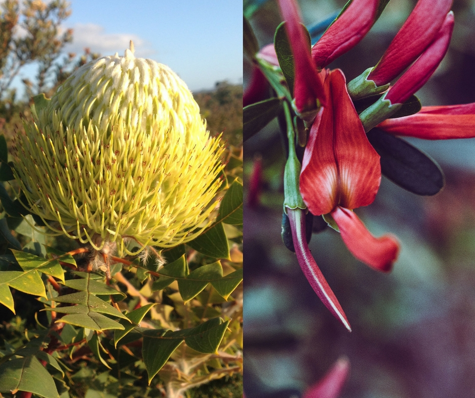 Banksia baxteri (Fitzgerald River National Park) & Templetonia retusa (Cape to Cape Track)